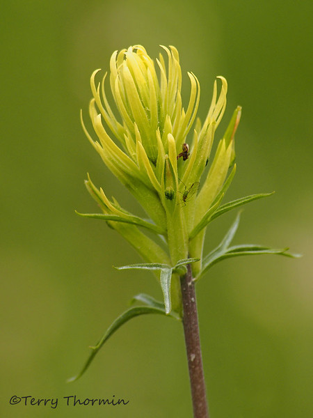 Thompson's Paintbrush, Castilleja thompsonii