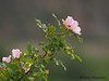 Prickly Rose, Rosa acicularis