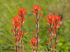 Common Paintbrush, Castilleja miniata