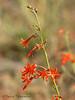 Scarlet Gilia, Ipomopsis aggregata
