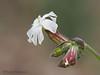 Bladder Campion, Silene vulgaris