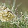Western White, Pontia occidentalis