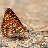Variable Checkerspot, Euphydryas chalcedona