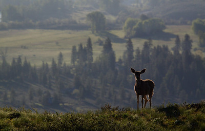 Mule Deer Doe, Environmental Image Methow Valley