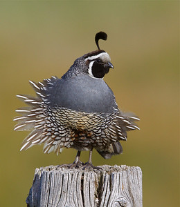 California Quail with a tail wind and a relaxed plumage