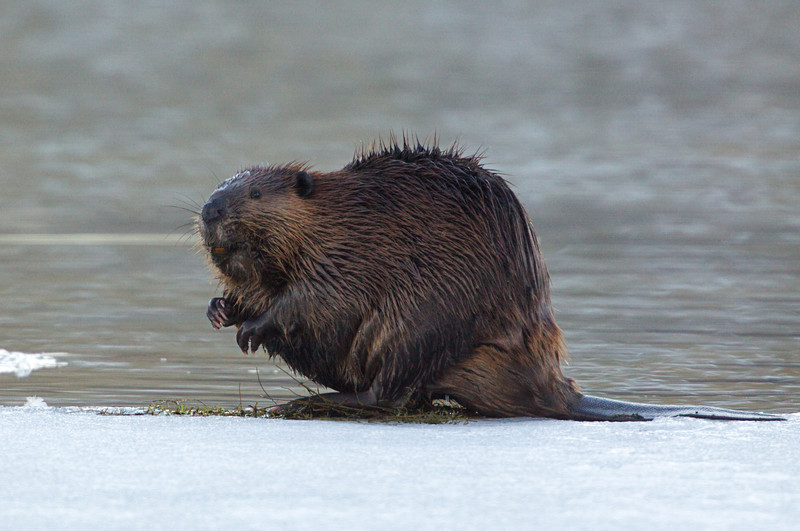 Beaver on Ice, Methow River