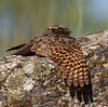 Common Poorwill, dozing in the sun