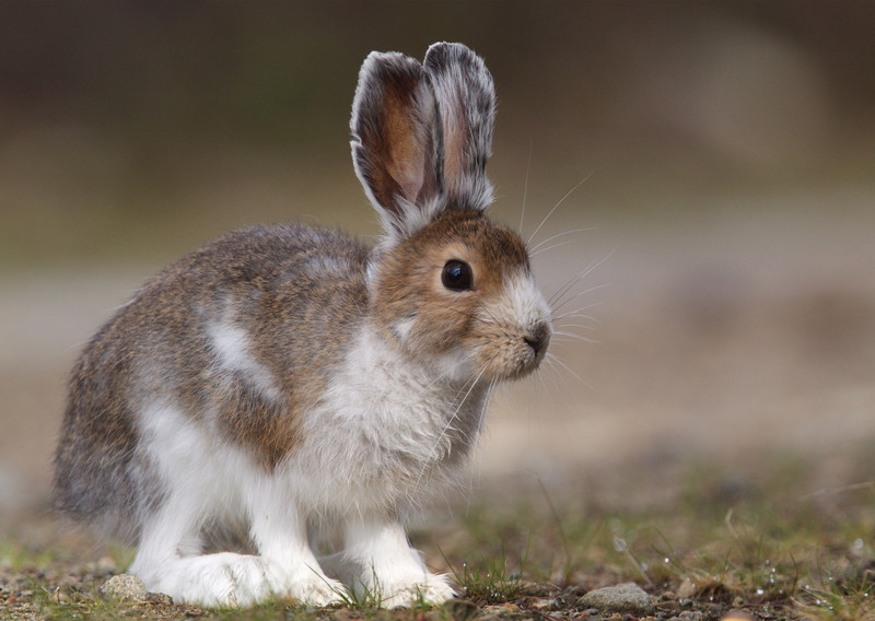 Snowshoe Hare changing pelage, from winter's white to summer's brown
