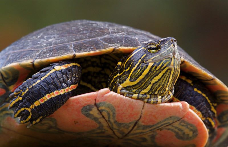 Western Painted Turtle, a large specimen whose shell was over 10 inches long