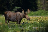 Bull moose at 4,000 feet elevation, taking refuge in water on a blisteringly hot day.