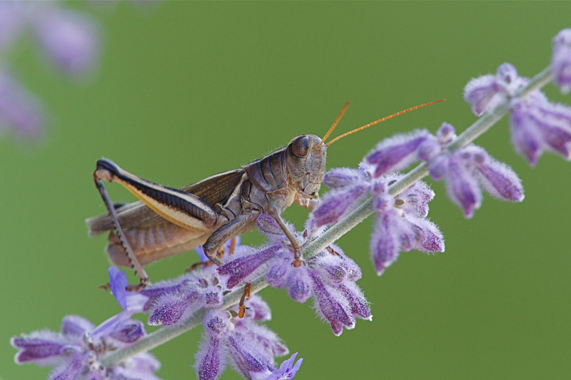 Grasshopper on Salvia blooms