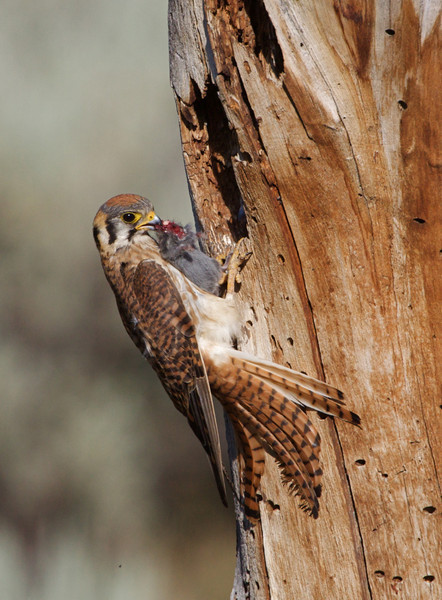 Male Kestrel bringing prey back to the nest hole