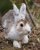 On May 16th, at 4,900 feet elevation, this Snowshoe Hare, along with 3 others, were still about half white.