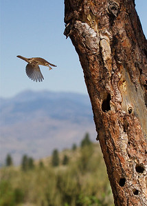 House Wren approaches her nest hole, with mountain & meadow habitat in background.