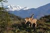 Mule Deer<br /> Sun Mountian