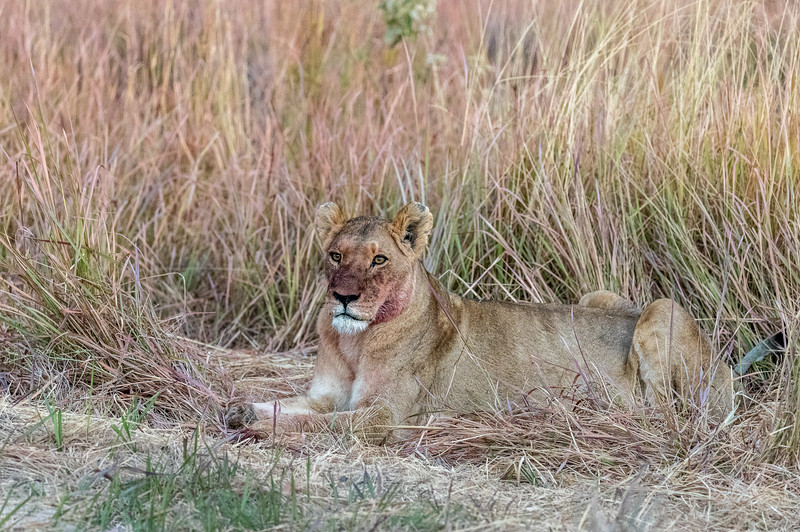 Chitabe, Okavango Delta, Botswana. A lioness takes a break from feeding on a kudu in nearby grass close to the Chitabe camp.