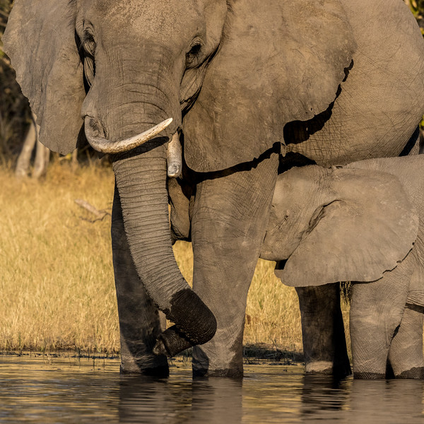 Selinda, Okavango Delta, Botswana. A mother elephant gets water from the spillway and her calf takes the opportunity to nurse.