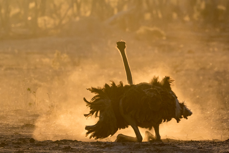 Kwara, Okavango Delta, Botswana. An ostrich takes a dust bath. The bird is supported here on its ankles and the long feet that attach below them. The bird's knees are up next to its body, largely hidden within its feathers.