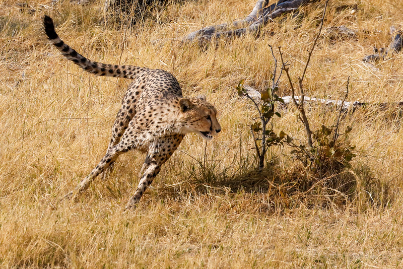 Selinda, Okavango Delta, Botswana. Soaked from the spillway, a young cheetah enjoys some solitary play time.