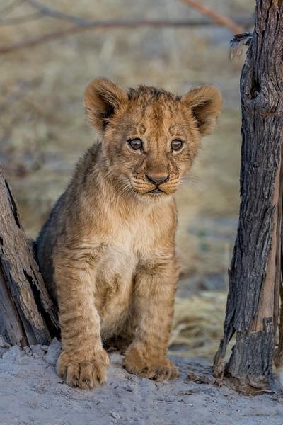 Chitabe, Okavango Delta, Botswana. A lion cub.
