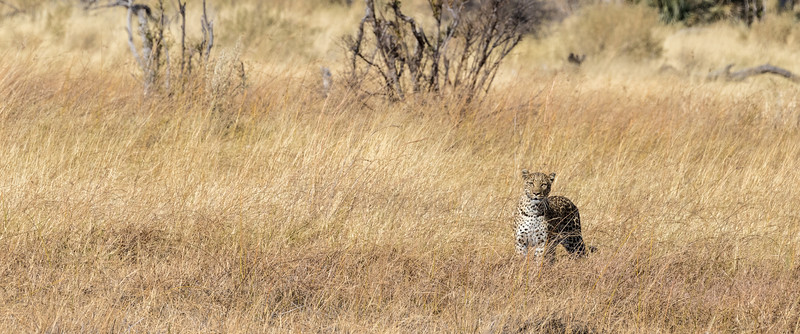 Chitabe, Okavango Delta, Botswana. A leopard mother monitors her cub and scans for danger.
