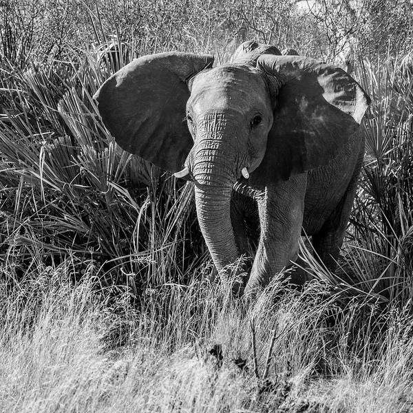 Chitabe, Okavango Delta, Botswana. This young female was highly agitated, perhaps by separation from her herd and the presence of a safari vehicle.