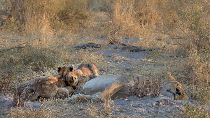 Chitabe, Okavango Delta, Botswana. A peaceful lion cub nursing scene.