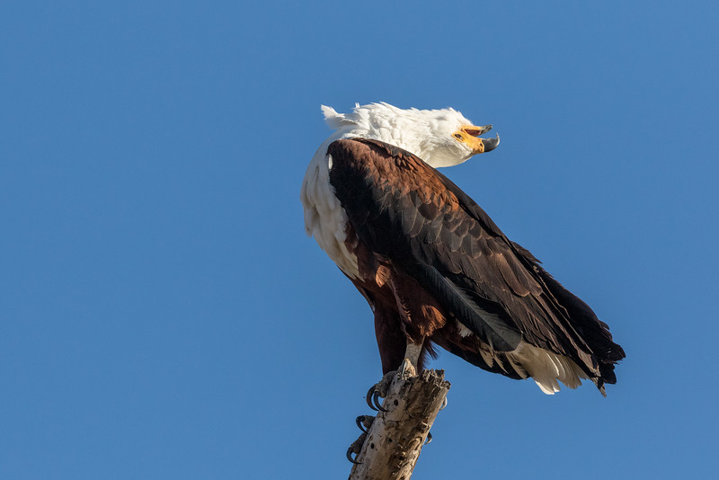 Vumbura, Okavango Delta, Botswana. The iconic call of the African fish eagle is flung to skies.