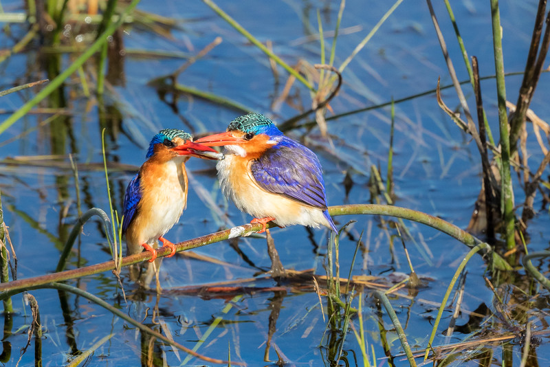 Vumbura, Okavango Delta, Botswana. A malachite kingfisher parent (on the left) has brought a fish to a juvenile. The juvenile may be larger than the parent because it is being fed by both parents.