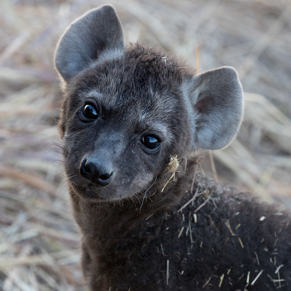 Kwara, Okavango Delta, Botswana. A hyena pup is very curious about a safari vehicle.