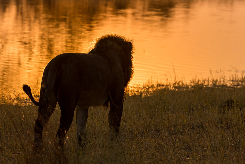 Selinda, Okavango Delta, Botswana. A male lion surveys the Selinda Spillway as the sun rises.