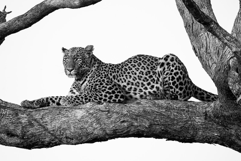 Vumbura, Okavango Delta, Botswana. As daylight wanes, a leopard rests in preparation for a night of hunting.