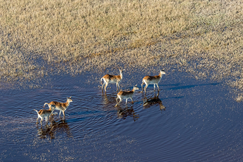 Above Vumbura area, Okavango Delta, Botswana. A small group of red lechwe. One of them is focusing on the helicopter above.