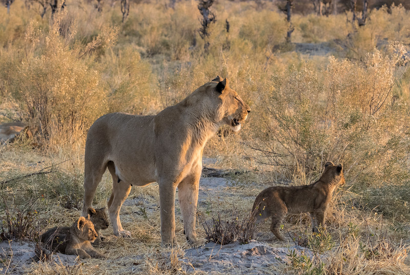 Chitabe, Okavango Delta, Botswana. An alert lioness and her cubs in sunset light.