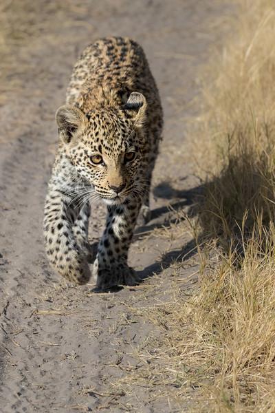 Chitabe, Okavango Delta, Botswana. A leopard cub.