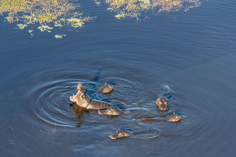 Above Kwando area, Okavango Delta, Botswana. A pod of hippos.
