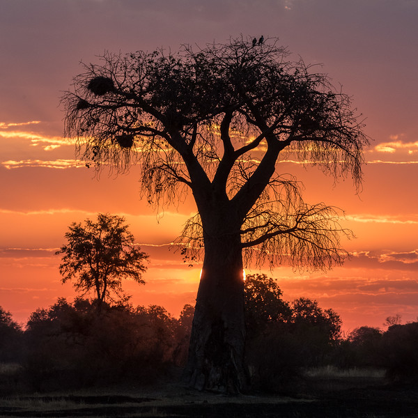 Kwara, Okavango Delta, Botswana. A baobab tree is silhouetted against the setting sun. A pair of African fish eagles is perched in the top branches on the right and a large red-billed buffalo weaver nest occupies upper branches on the left.
