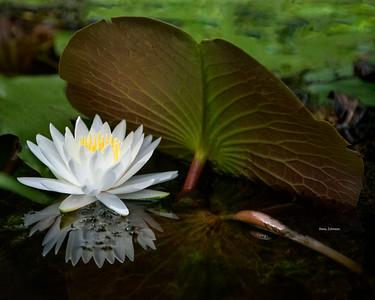 Okefenokee Lily Pad