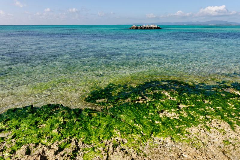 Algues comestibles sur le rivage de Taketomi-jima. Iles Yaeyama/Archipel d'Okinawa/Japon