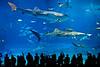 Passage de deux requins baleines dans le bassin géant de l'Aquarium de Churaumi. Ile d'Okinawa/Japon