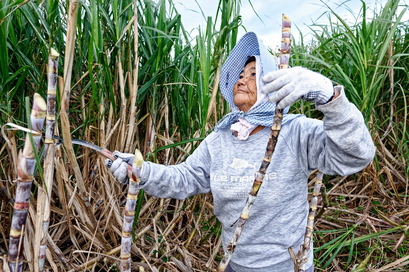Paysanne de 82 ans en train de couper la canne à sucre dans un champ d'Ishigaki-jima. Iles Yaeyama/Archipel d'Okinawa/Japon