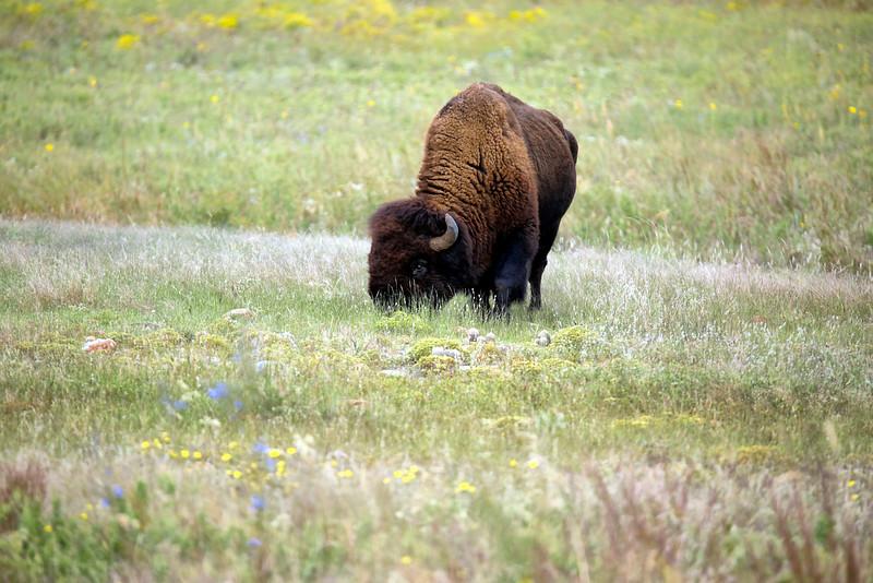 Wild Bison - Wichita Mountains National  Wildlife Refuge - Lawton, Oklahoma