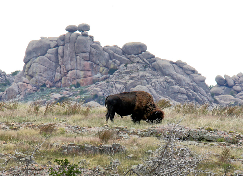 Wild Bison and Crab Eyes Rocks - Wichita Mountains National  Wildlife Refuge - Lawton, Oklahoma
