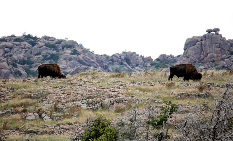 Wild Bison - Wichita Mountains National  Wildlife Refuge - Lawton, Oklahoma