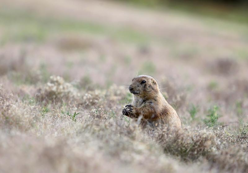 Ground Hog - Wichita Mountains Wildlife Refuge