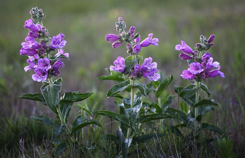 Purple Beardtongue photographed at the Idabel, Oklahoma airport tallgrass prairie