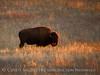 Bison, Wichita Mts NWR OK (3)