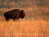 Bison, Wichita Mts NWR OK (4)