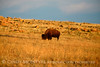 Bison, Wichita Mts OK March (5)