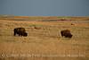 Bison, Wichita Mts OK March (6)